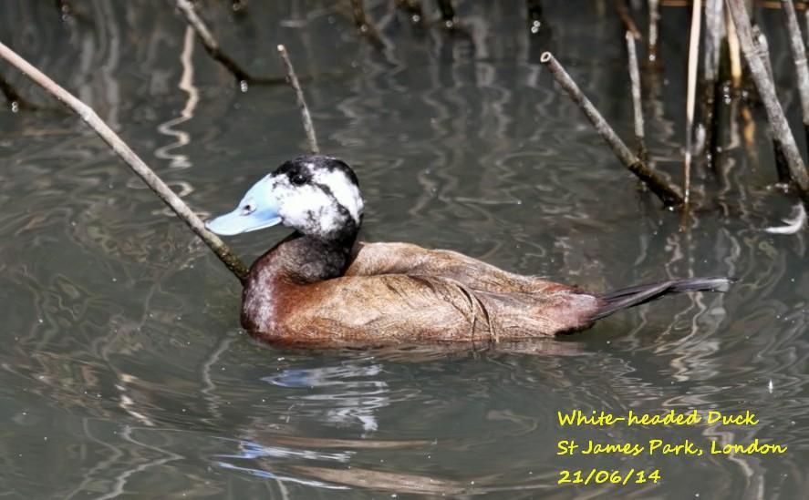 White-headed Duck 3E
