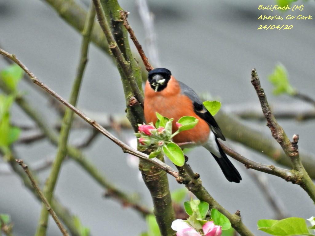 Bullfinch 3