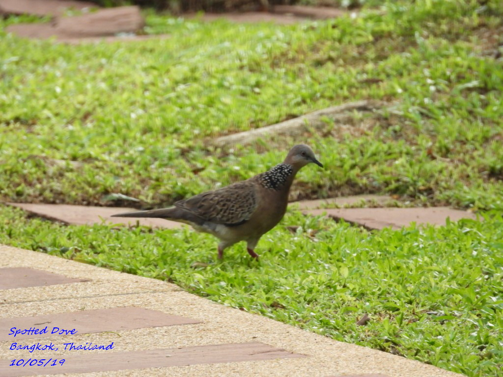 Spotted Dove 1