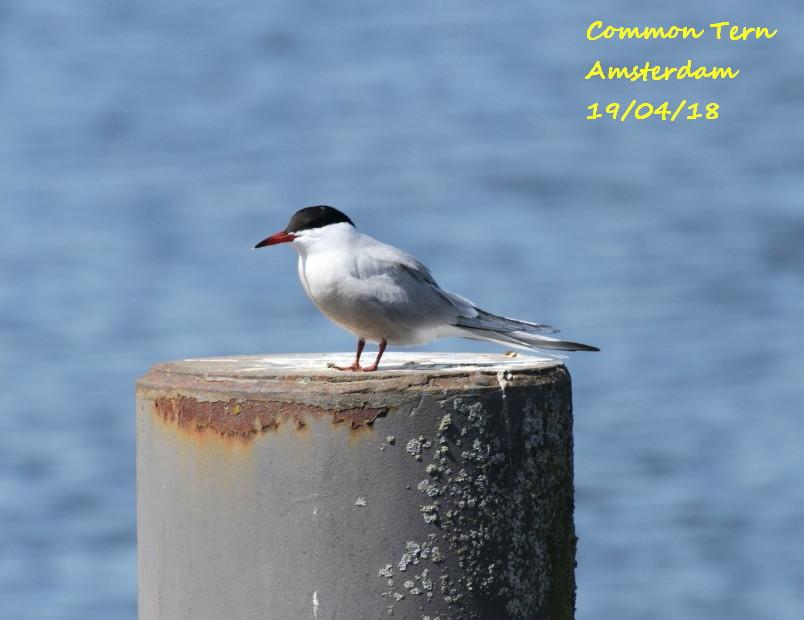 Common Tern 1