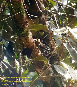 Buff-rumped Woodpecker 1
