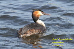 Great Crested Grebe 3