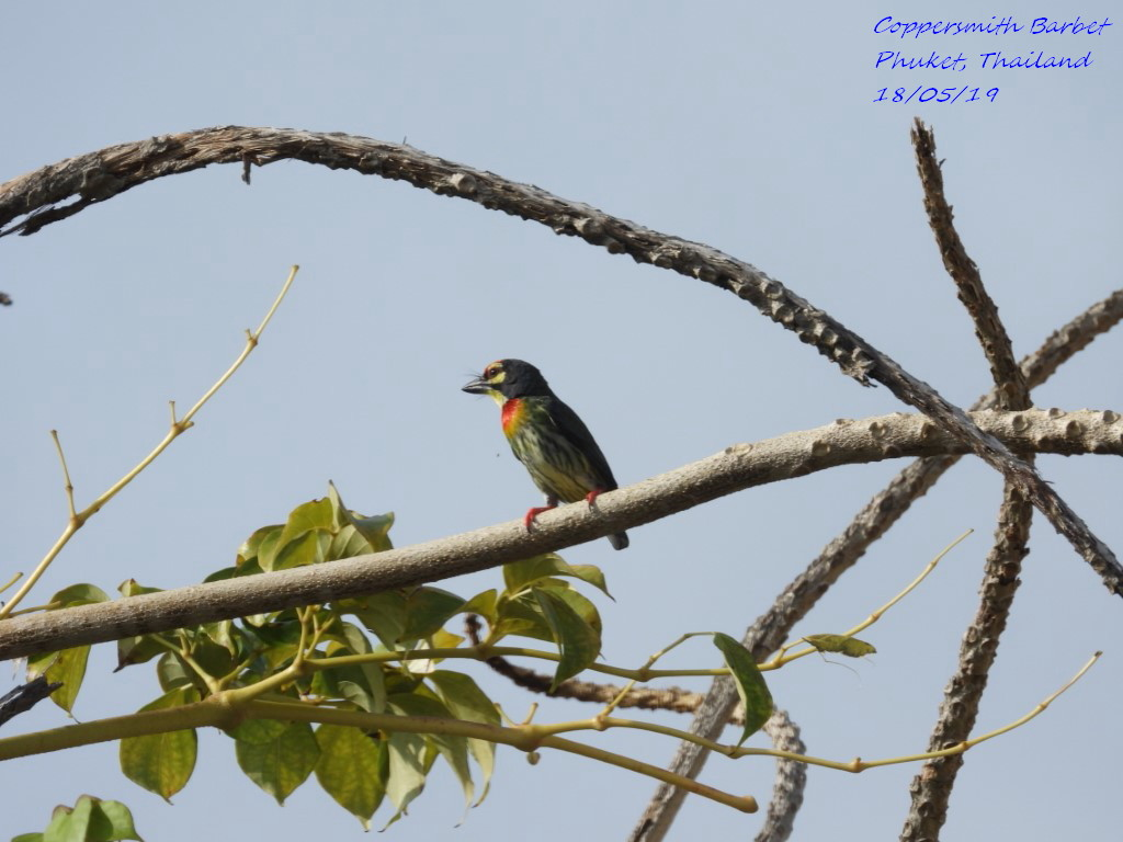 Coppersmith Barbet 5