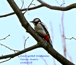 Great-spotted Woodpecker 8