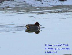 Green-winged Teal 1