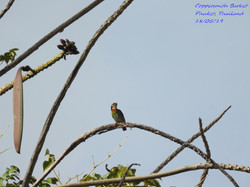 Coppersmith Barbet 7