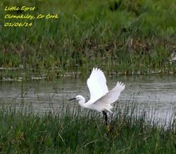 Little Egret 3A