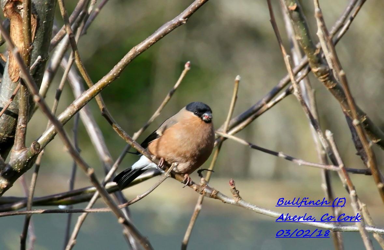 Bullfinch 2