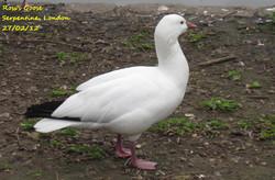 Ross's Goose 1