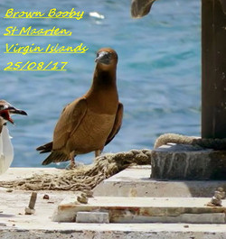Brown Booby 1