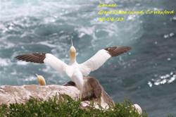 Gannet 6
