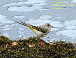 Grey Wagtail 3