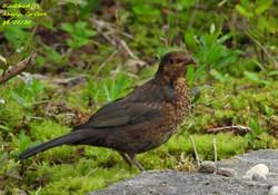 Blackbird 11