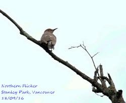 Northern Flicker 2
