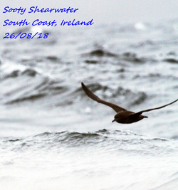 Sooty Shearwater 2