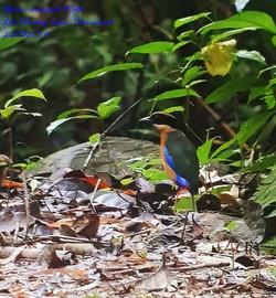 Blue-winged Pitta 2