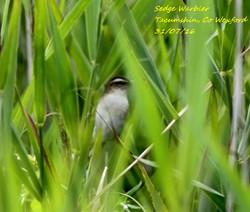 Sedge Warbler 3