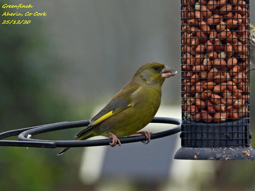 Greenfinch 7