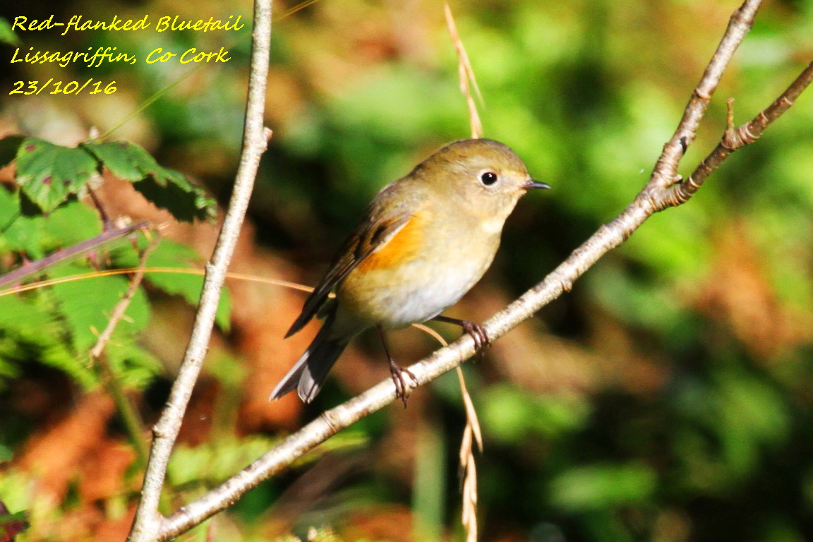 Red-flanked Bluetail 1
