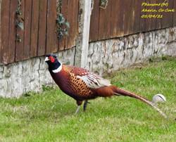 Pheasant 8