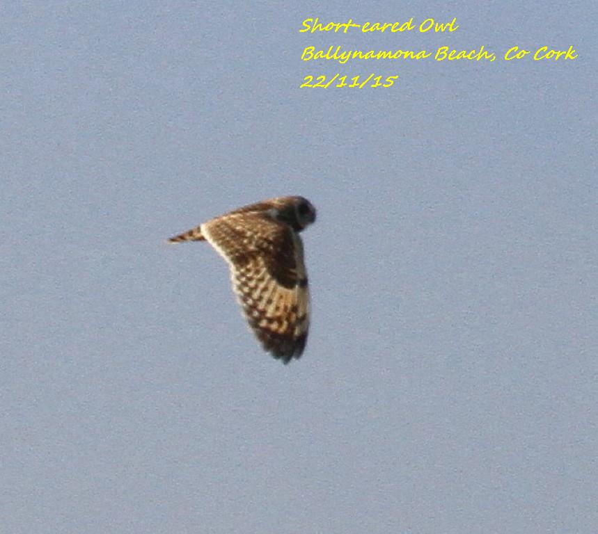 Short-eared Owl 6
