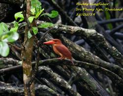 Ruddy Kingfisher 1