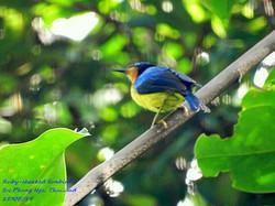 Ruby-cheeked Sunbird 1