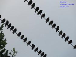 Starling 8