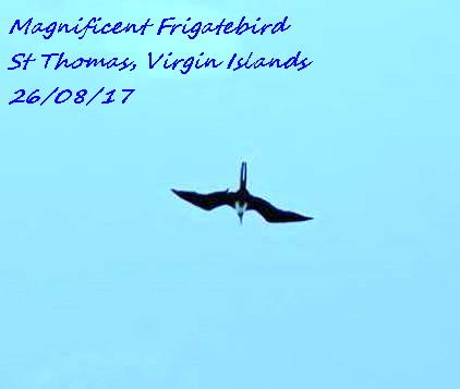 Magnificent Frigatebird 4