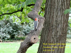 Red-bellied Woodpecker 1