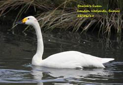 Bewick's Swan 1