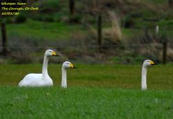 Whooper Swan 6