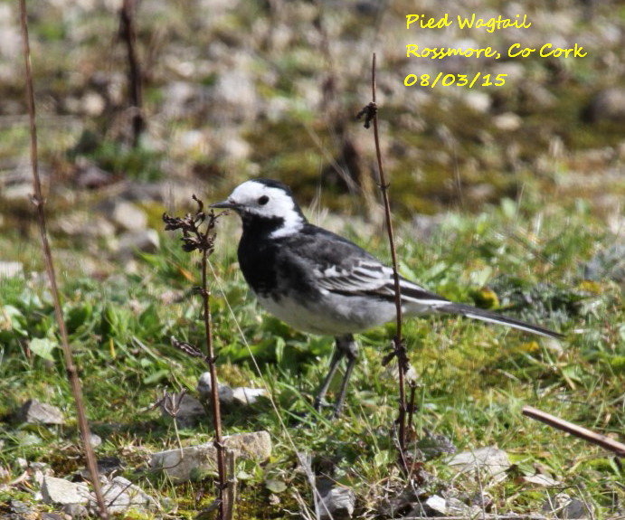 Pied Wagtail 6