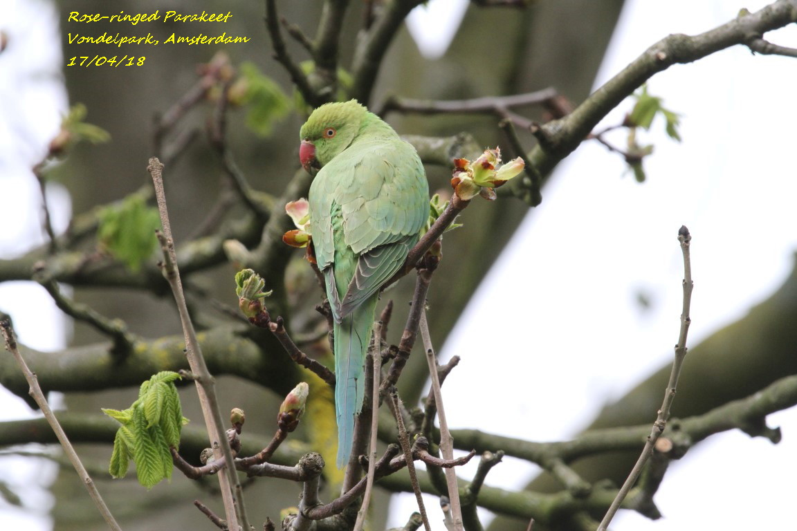 Rose-ringed Parakeet 2