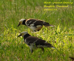 Black-collared Starling 5