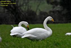 Whooper Swan 7