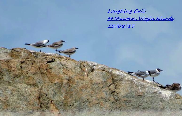 Laughing Gull 4