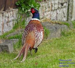 Pheasant 7