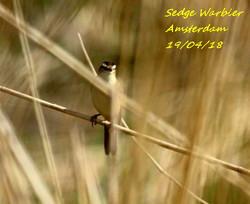 Sedge Warbler 2