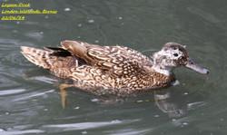 Laysan Duck 1