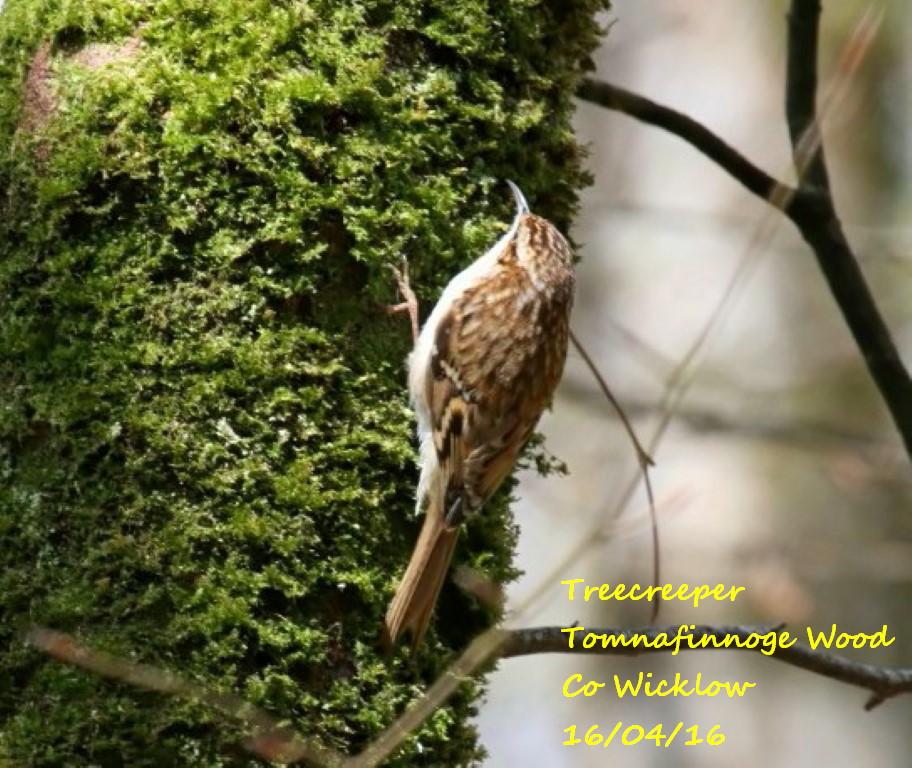 Treecreeper 3