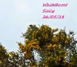 Whitethroat 1