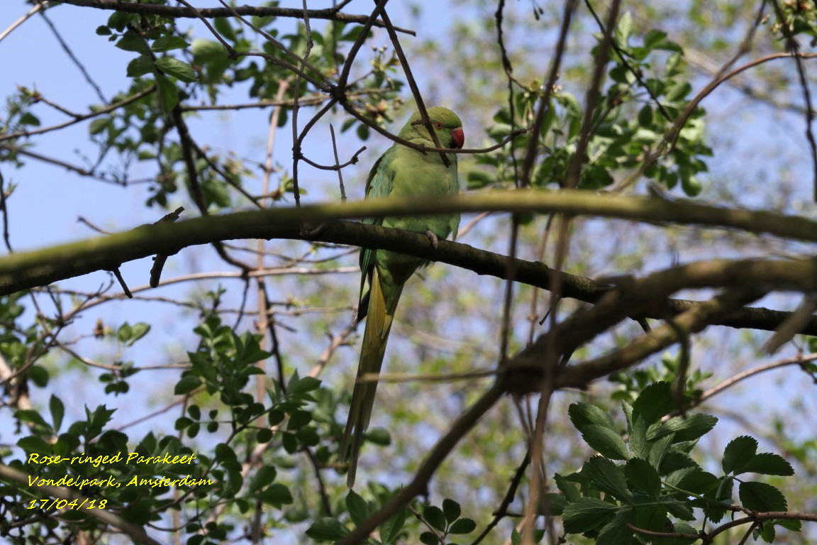 Rose-ringed Parakeet 3