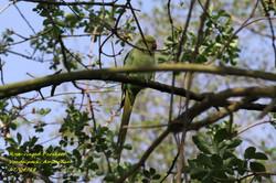 Rose-ringed Parakeet 3