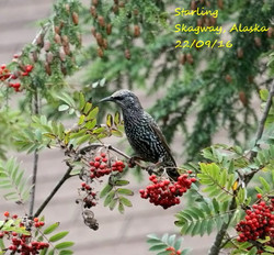 Starling 4