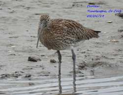 Curlew 6