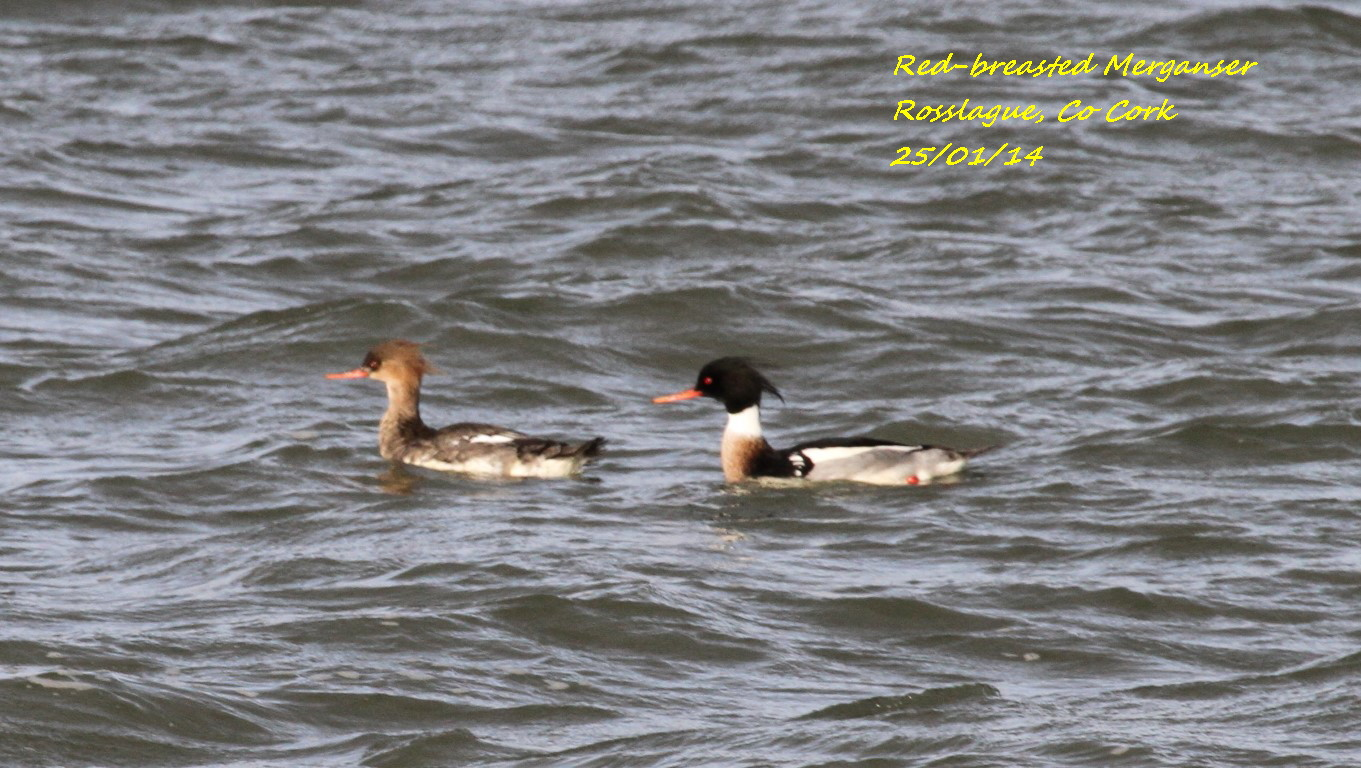 Red-breasted Merganser 5