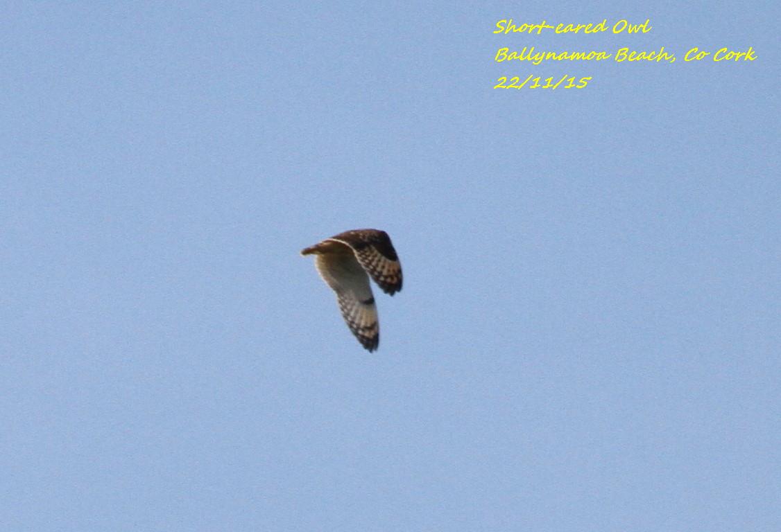 Short-eared Owl 7