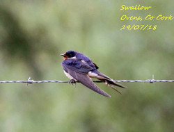 Swallow 3