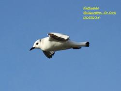 Kittiwake 1